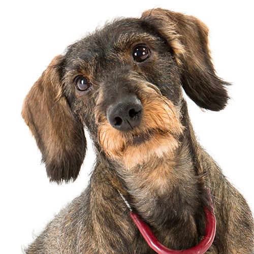 Guhi The Dog