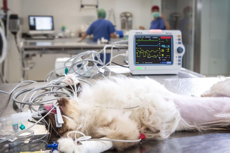 anestesia gatto clinica veterinaria cmv varese