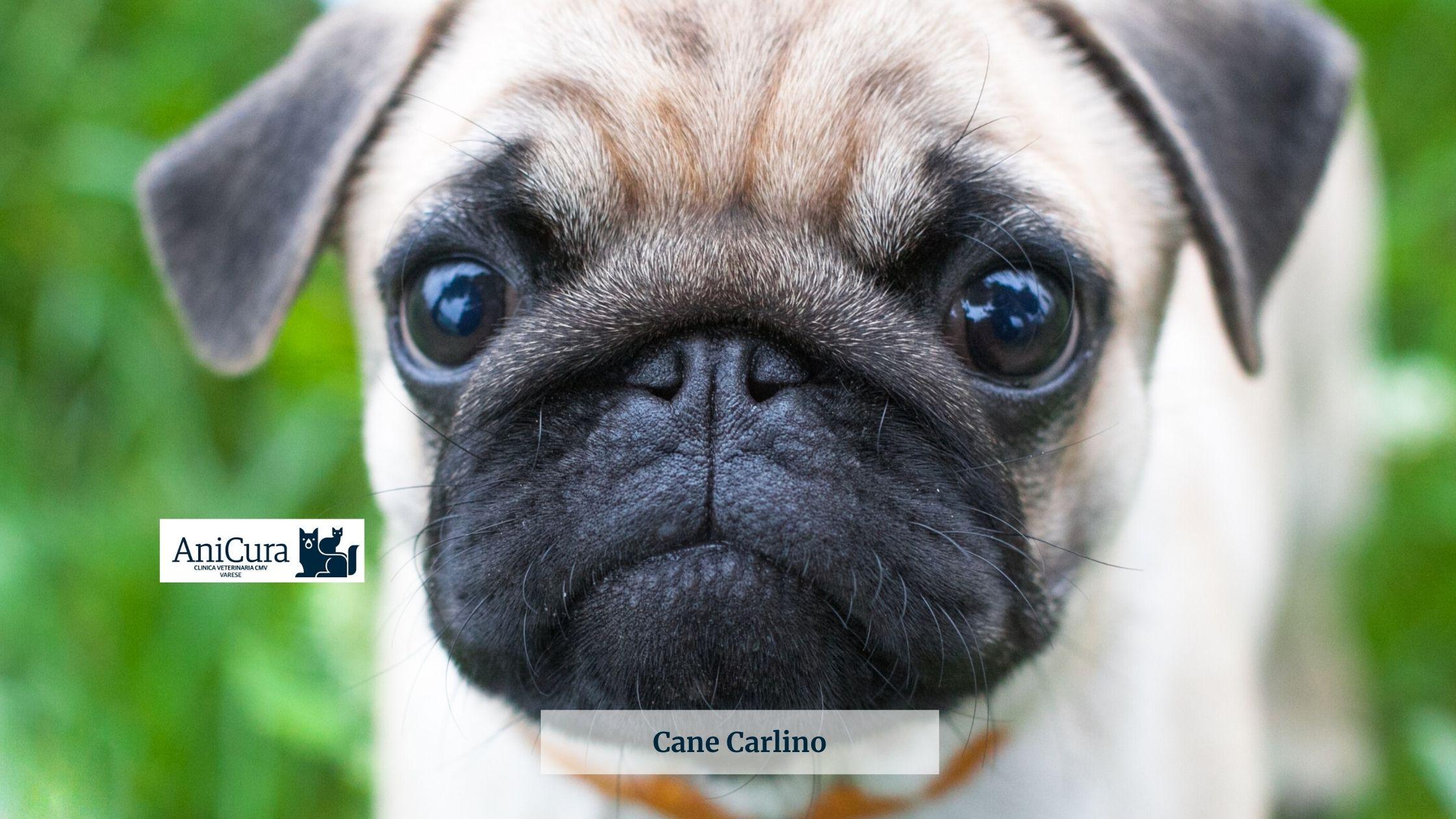 cane carlino sindrome del cane brachicefalo